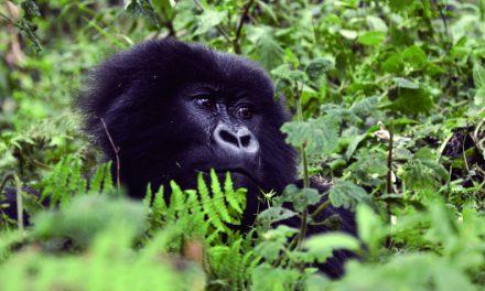 Hope for Rwanda's critically endangered mountain gorillas