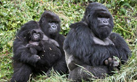 Close encounter with baby Gorilla