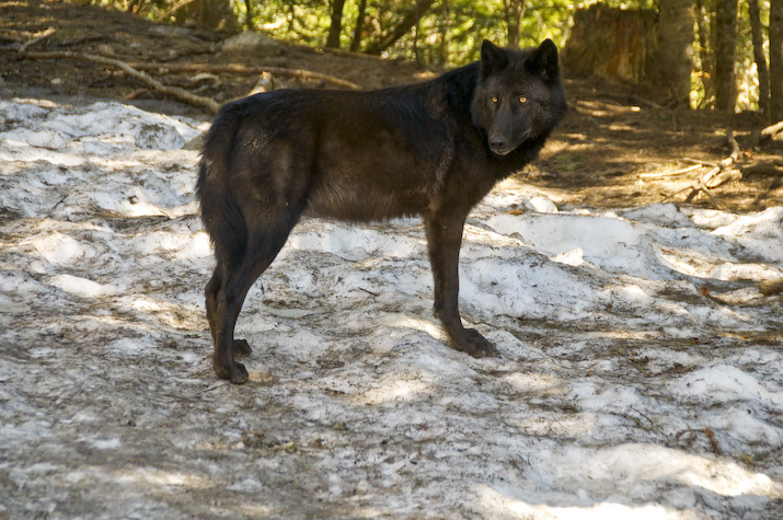 Coming into close contact with Europe's most charismatic and elusive predators