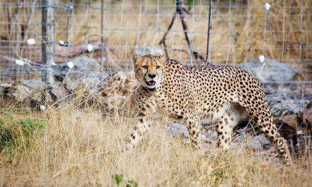 Cheetahs make a welcome return to Liwonde