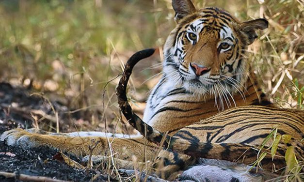 Turning the tide for tigers